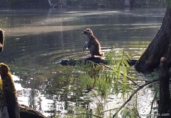 Аттракцион катание на крокодиле