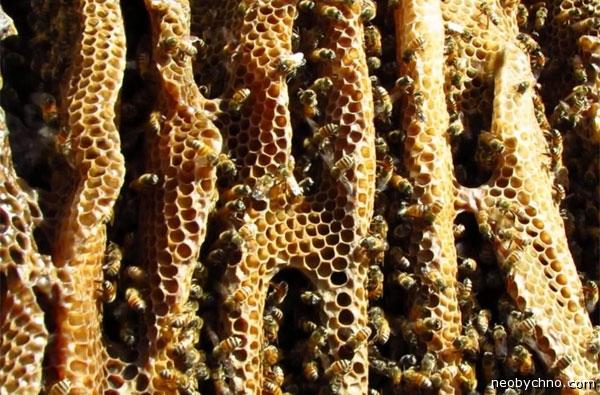 Месть диких пчел