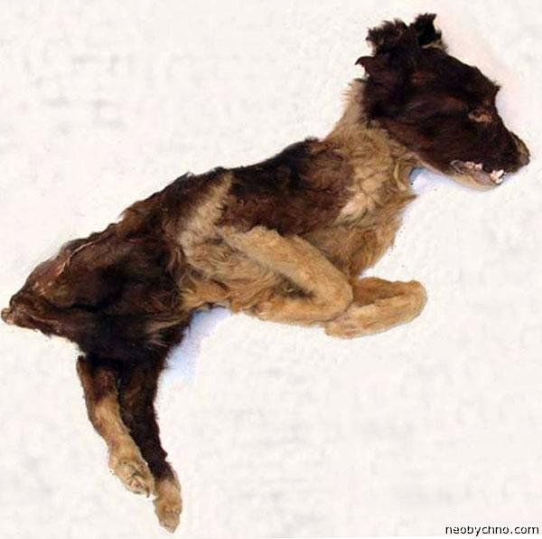 Мумия индейской собаки