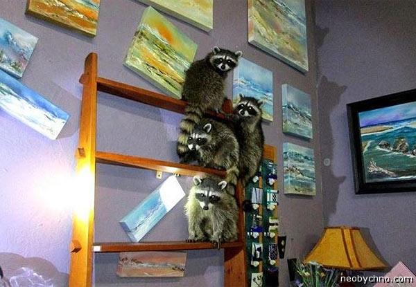 racoons-3