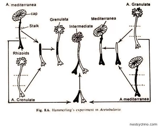 acetabularia-3