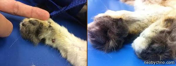 Лапы барханного кота