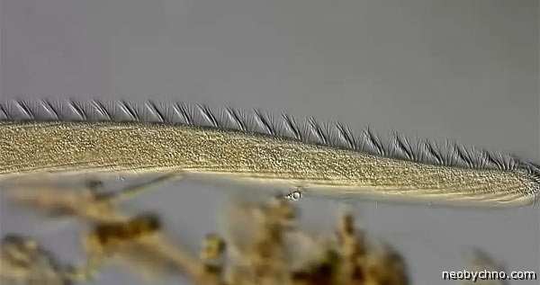 spirostomum-3