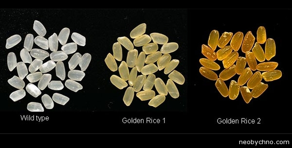 12-golden-rice-history