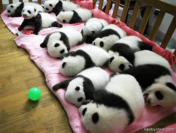 panda-china-1