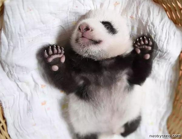 panda-china-2