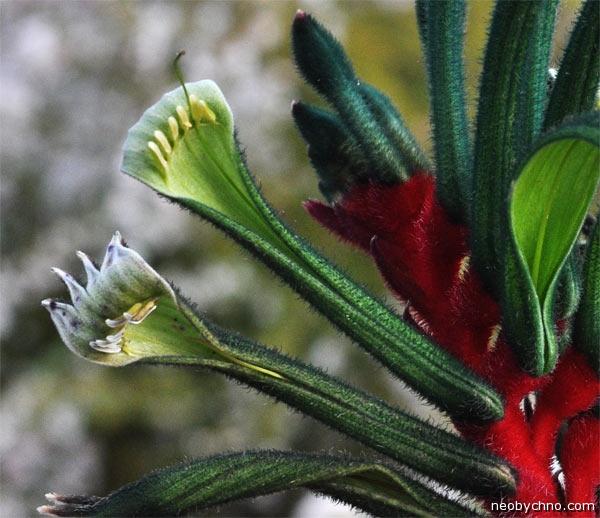 растение лапа кенгуру