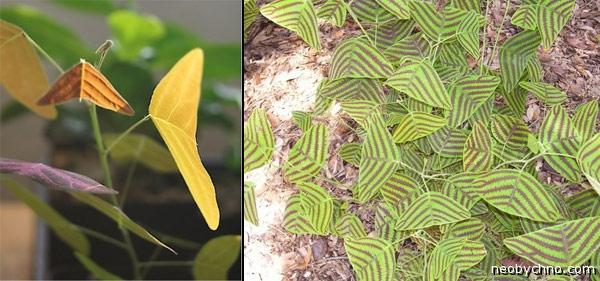 растение похожее на бабочку