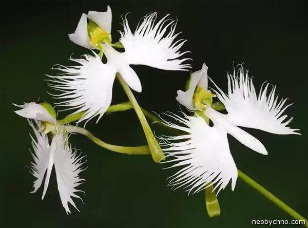 бахромчатая орхидея