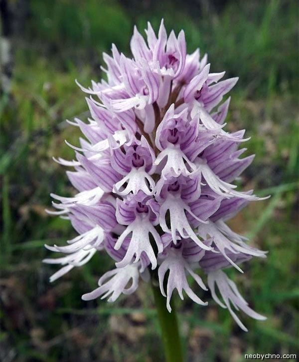 orchis-italica-2