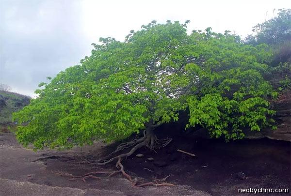 манцинелла дерево смерти