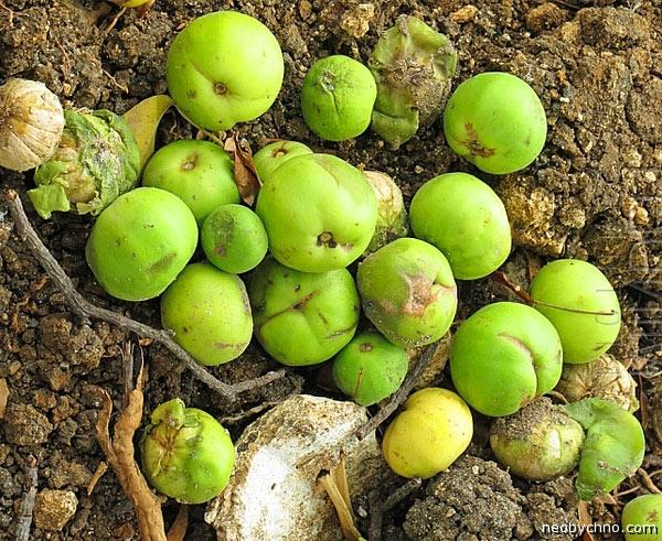 яблоки смерти