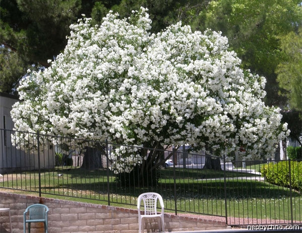 Олеандр ядовитое дерево